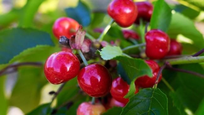 В НААН України розказали, які ягоди краще їсти влітку і показали нові сорти